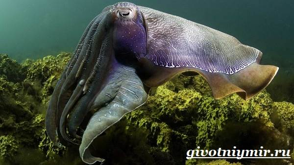 Кальмар-моллюск-Образ-жизни-и-среда-обитания-кальмара-9