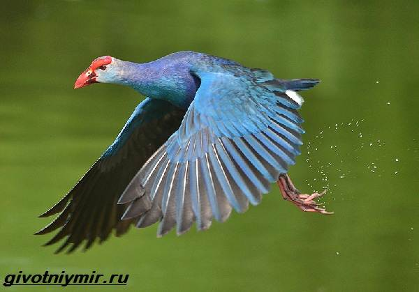 Камышница-птица-Образ-жизни-и-среда-обитания-птицы-камышницы-4