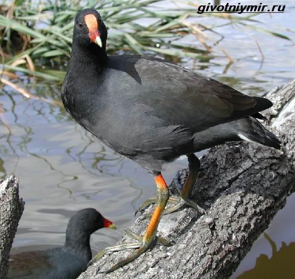 Камышница-птица-Образ-жизни-и-среда-обитания-птицы-камышницы-5