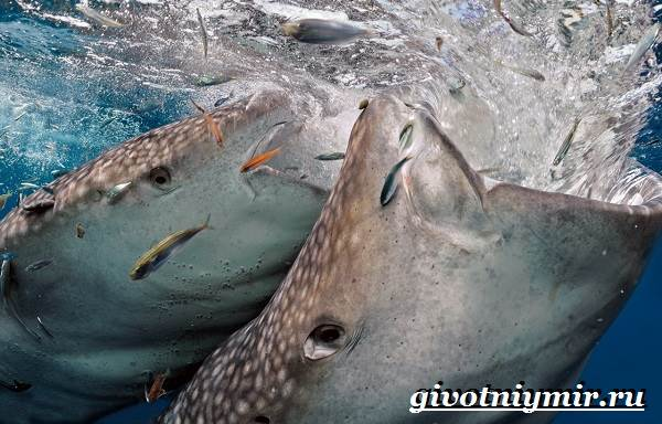 Китовая-акула-Образ-жизни-и-среда-обитания-китовой-акулы-10