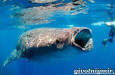 Китовая акула. Образ жизни и среда обитания китовой акулы