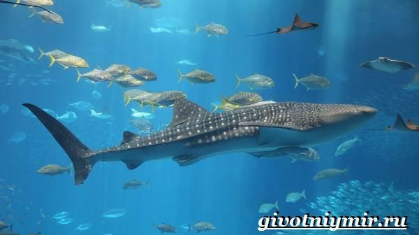 Китовая-акула-Образ-жизни-и-среда-обитания-китовой-акулы-2