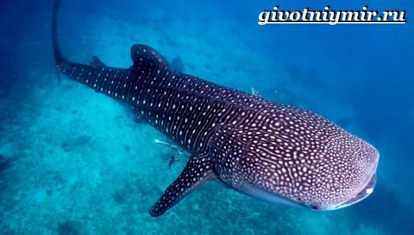 Китовая-акула-Образ-жизни-и-среда-обитания-китовой-акулы-3