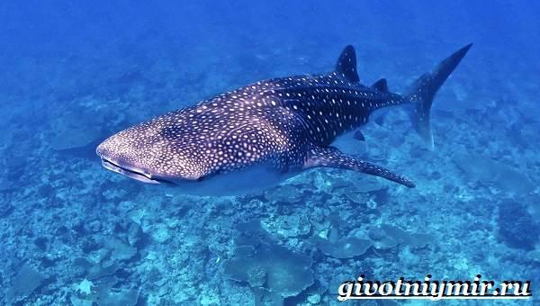 Китовая-акула-Образ-жизни-и-среда-обитания-китовой-акулы-4