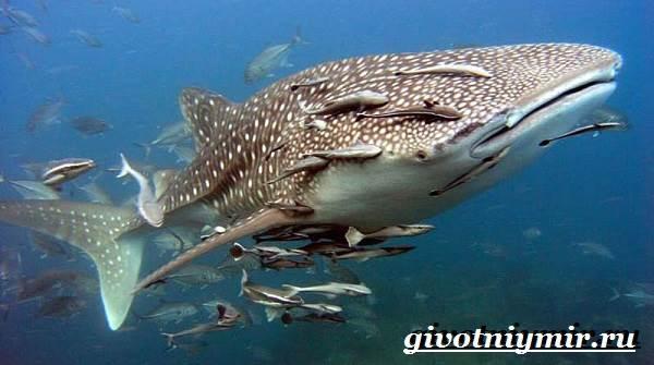 Китовая-акула-Образ-жизни-и-среда-обитания-китовой-акулы-6