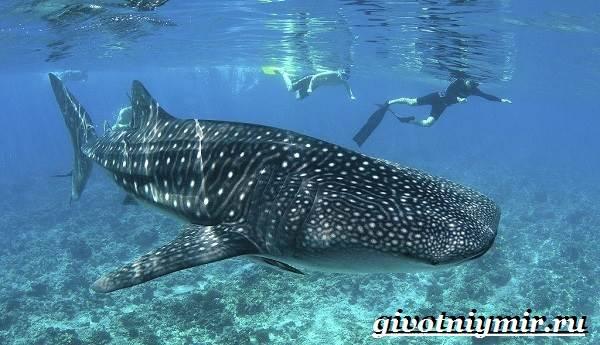 Китовая-акула-Образ-жизни-и-среда-обитания-китовой-акулы-7