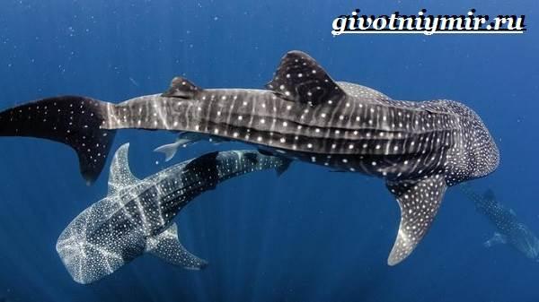 Китовая-акула-Образ-жизни-и-среда-обитания-китовой-акулы-8