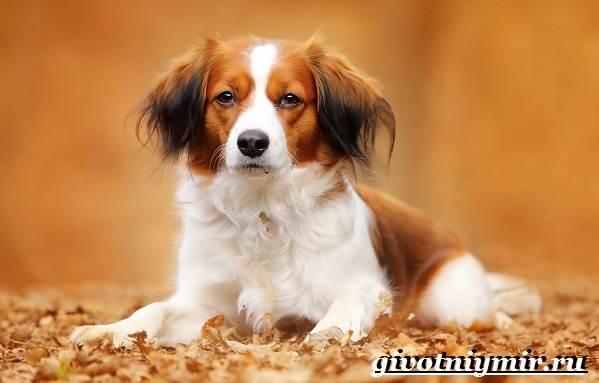 Коикерхондье-собака-Описание-особенности-уход-и-цена-породы-коикерхондье-1