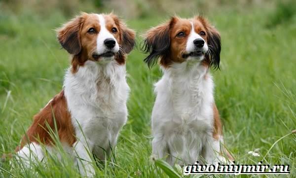 Коикерхондье-собака-Описание-особенности-уход-и-цена-породы-коикерхондье-3