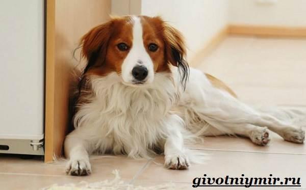 Коикерхондье-собака-Описание-особенности-уход-и-цена-породы-коикерхондье-4