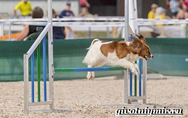 Коикерхондье-собака-Описание-особенности-уход-и-цена-породы-коикерхондье-6