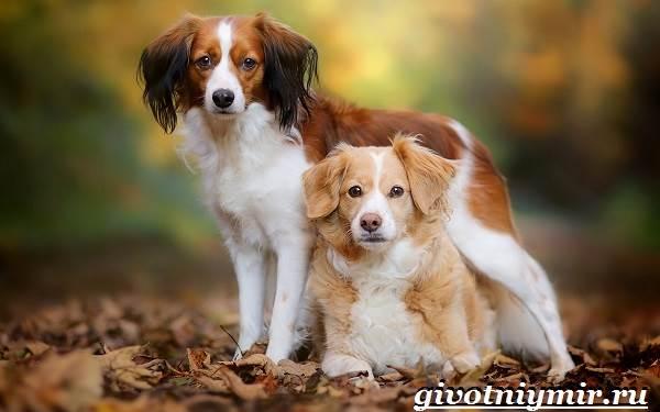 Коикерхондье-собака-Описание-особенности-уход-и-цена-породы-коикерхондье-7