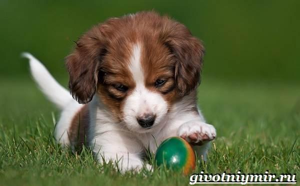 Коикерхондье-собака-Описание-особенности-уход-и-цена-породы-коикерхондье-8