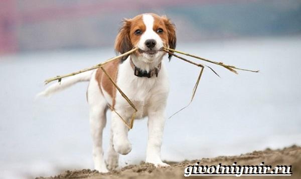 Коикерхондье-собака-Описание-особенности-уход-и-цена-породы-коикерхондье-9