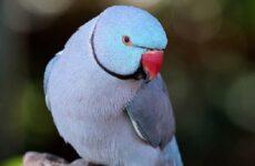 Кольчатый попугай. Образ жизни и среда обитания кольчатого попугая
