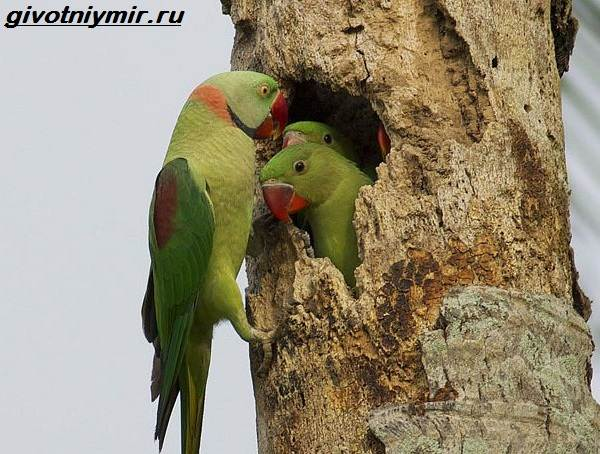 kolchatyj-popugaj-obraz-zhizni-i-sreda-obitaniya-kolchatogo-popugaya-3
