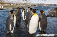 Королевский пингвин. Образ жизни и среда обитания королевского пингвина