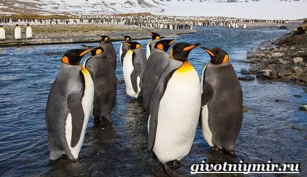 Королевский-пингвин-Образ-жизни-и-среда-обитания-королевского-пингвина-1