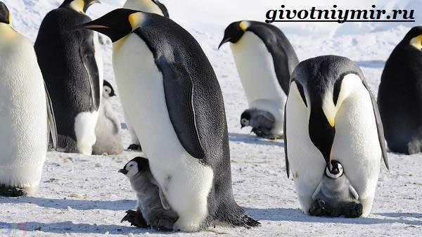 Королевский-пингвин-Образ-жизни-и-среда-обитания-королевского-пингвина-10