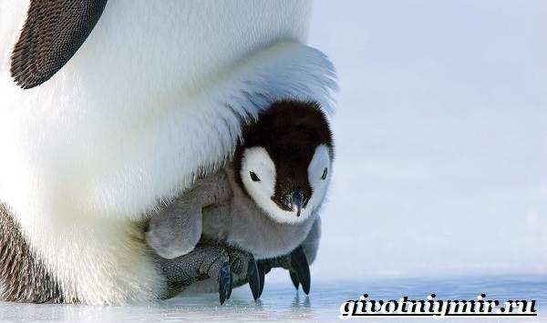 Королевский-пингвин-Образ-жизни-и-среда-обитания-королевского-пингвина-11