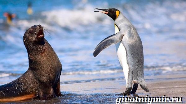 Королевский-пингвин-Образ-жизни-и-среда-обитания-королевского-пингвина-12