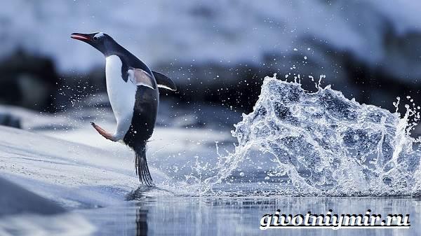 Королевский-пингвин-Образ-жизни-и-среда-обитания-королевского-пингвина-2
