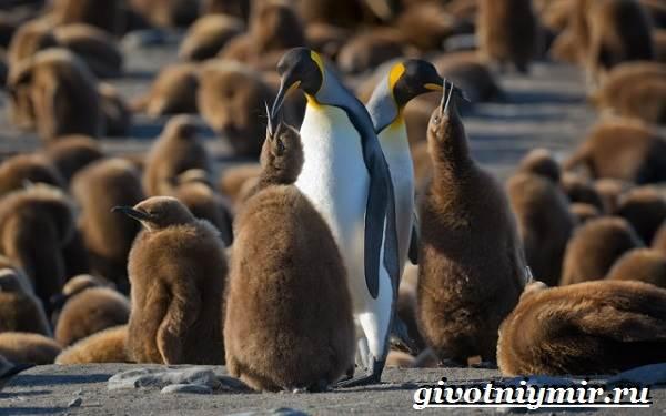 Королевский-пингвин-Образ-жизни-и-среда-обитания-королевского-пингвина-3