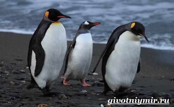 Королевский-пингвин-Образ-жизни-и-среда-обитания-королевского-пингвина-4