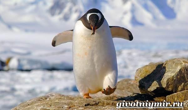 Королевский-пингвин-Образ-жизни-и-среда-обитания-королевского-пингвина-5