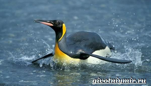 Королевский-пингвин-Образ-жизни-и-среда-обитания-королевского-пингвина-6
