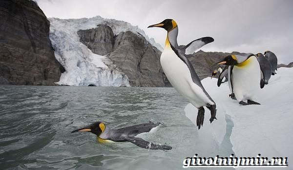 Королевский-пингвин-Образ-жизни-и-среда-обитания-королевского-пингвина-7