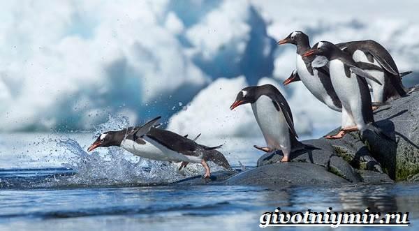 Королевский-пингвин-Образ-жизни-и-среда-обитания-королевского-пингвина-8
