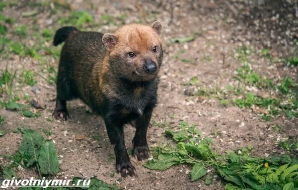 Кустарниковая-собака-Образ-жизни-и-среда-обитания-кустарниковой-собаки-1