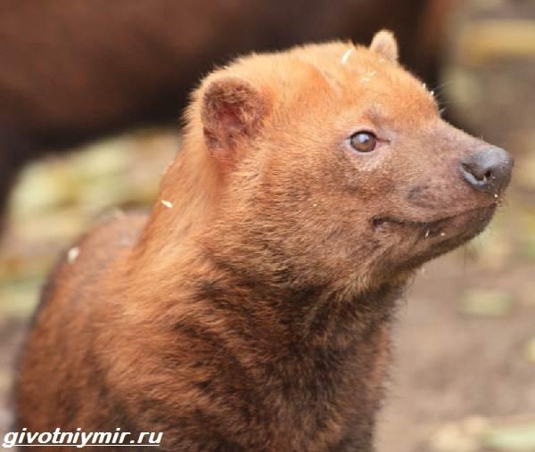 Кустарниковая-собака-Образ-жизни-и-среда-обитания-кустарниковой-собаки-3