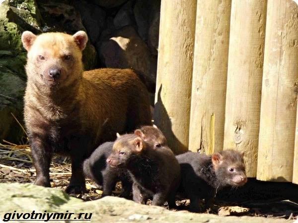 Кустарниковая-собака-Образ-жизни-и-среда-обитания-кустарниковой-собаки-4