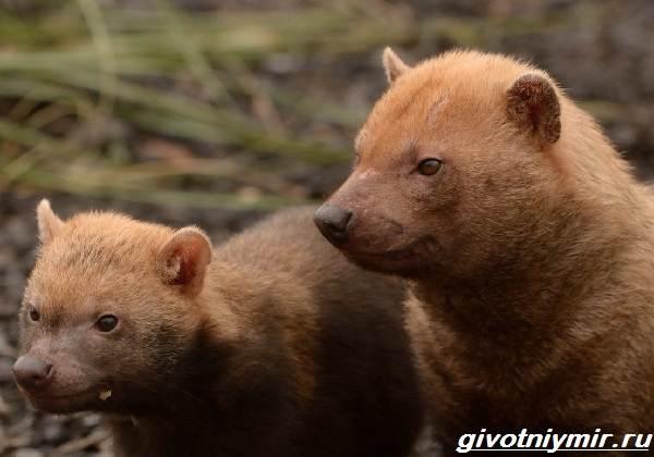 Кустарниковая-собака-Образ-жизни-и-среда-обитания-кустарниковой-собаки-5