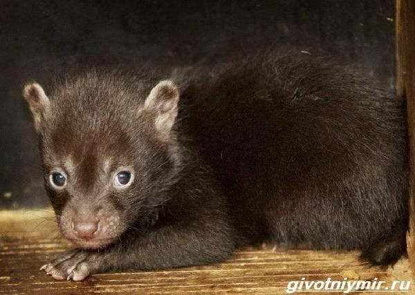 Кустарниковая-собака-Образ-жизни-и-среда-обитания-кустарниковой-собаки-6