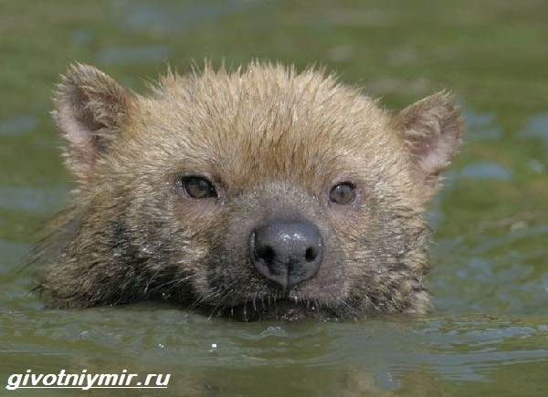 Кустарниковая-собака-Образ-жизни-и-среда-обитания-кустарниковой-собаки-7