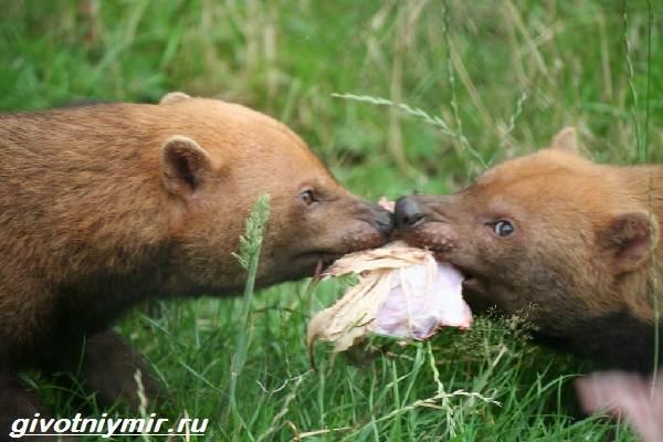 Кустарниковая-собака-Образ-жизни-и-среда-обитания-кустарниковой-собаки-8