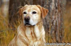 Лабрадор ретривер собака. Описание, особенности, уход и цена лабрадора ретривера