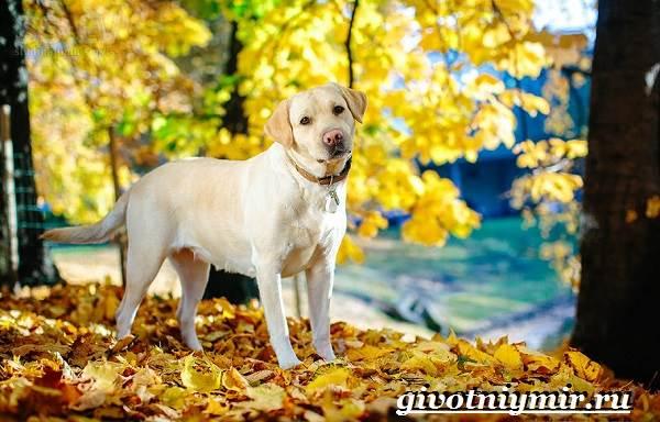 Лабрадор-ретривер-собака-Описание-особенности-уход-и-цена-лабрадора-ретривера-10