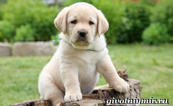 Лабрадор-ретривер-собака-Описание-особенности-уход-и-цена-лабрадора-ретривера-11