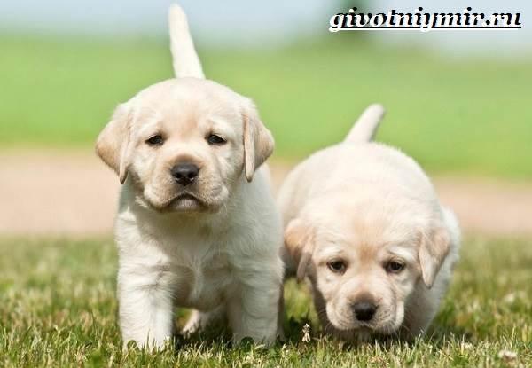 Лабрадор-ретривер-собака-Описание-особенности-уход-и-цена-лабрадора-ретривера-12
