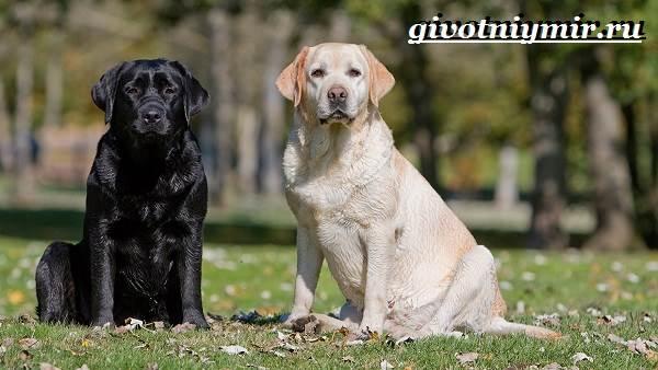 Лабрадор-ретривер-собака-Описание-особенности-уход-и-цена-лабрадора-ретривера-2