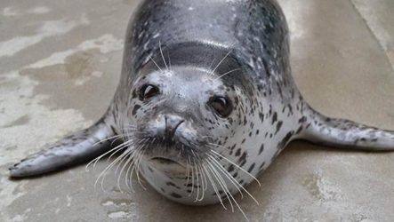 Ларга тюлень. Образ жизни и среда обитания тюленя ларга
