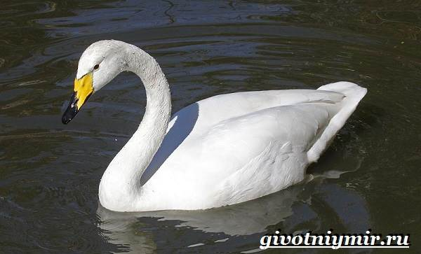 Лебедь-кликун-Образ-жизни-и-среда-обитания-лебедя-кликуна-10