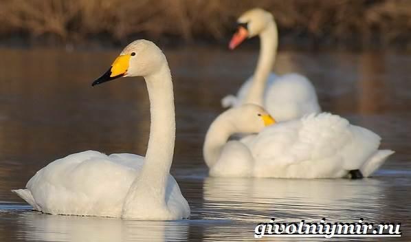 Лебедь-кликун-Образ-жизни-и-среда-обитания-лебедя-кликуна-11