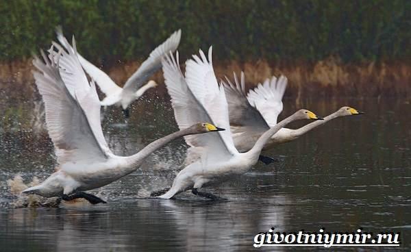 Лебедь-кликун-Образ-жизни-и-среда-обитания-лебедя-кликуна-12