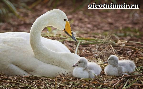 Лебедь-кликун-Образ-жизни-и-среда-обитания-лебедя-кликуна-13