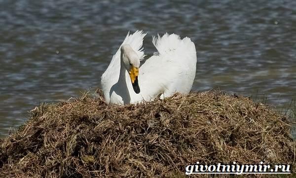 Лебедь-кликун-Образ-жизни-и-среда-обитания-лебедя-кликуна-14